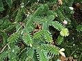 Abies cephalonica Loudon (AM AK300825-2).jpg