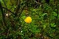 Abisko yellow flower.jpg