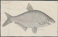 Abramis blicca - 1774-1804 - Print - Iconographia Zoologica - Special Collections University of Amsterdam - UBA01 IZ15000137.tif