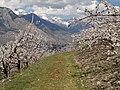 Abricotiers en fleurs - panoramio.jpg