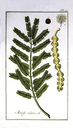 Acacia-nilotica.jpg
