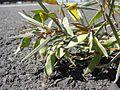 Acacia aneura pods.jpg