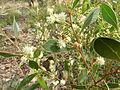 Acacia penninervis 1.jpg