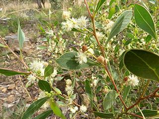 <i>Acacia penninervis</i> species of plant