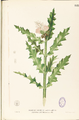 Acanthus ilicifolius Blanco1.153-original.png