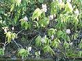 Acanthus pubescens, Jan Celliers Park.jpg