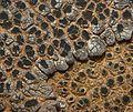 Acarospora strigata - Flickr - pellaea.jpg