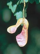 Acer ginnala seeds in tree.jpg
