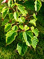 Acer morris. foliage.jpg