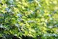"Acer palmatum ""Satsuki-beni"".jpg"