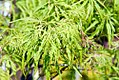 Acer palmatum var. dissectum Viridis 0zz.jpg