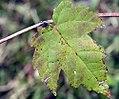 Acer rubrum 84zz.jpg