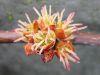 Acer saccharinum bluete1.jpeg