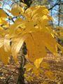 Acer saccharum floridianum BotGardBln1105LeavesFallA.JPG