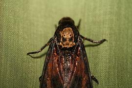Acherontia atropos thorax detail.jpg