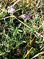 Achillea aspleniifolia sl3.jpg