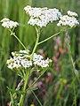 Achillea millefolium Krwawnik pospolity 2020-07-12 02.jpg