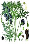 Aconitum ferox - Köhler–s Medizinal-Pflanzen-005.jpg