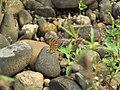Acraea terpsicore Linnaeus, 1758 – Tawny Coster at Peravoor 2017.jpg