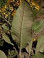 Acrisione denticulata 0698.jpg