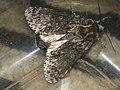 Acronicta megacephala - Poplar grey - Стрельчатка серая (41011642092).jpg