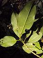 Acronychia pedunculata 18.JPG