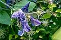 Actinidia deliciosa in Jardin des 5 sens (1).jpg