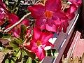 Adenium desert rose.jpg