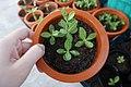 Adenium seedling one month old.jpg