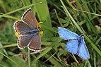 Adonis blue (Polyommatus bellargus) pair.jpg
