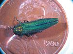 Adult Emerald Ash Borer on a penny.jpg