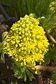 Aeonium flower.jpg