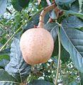 Aesculus × carnea - Fruit.jpg