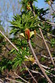 Aesculus californica-33.jpg
