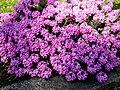 Aethionema armenum 'Warley Rose' 2.jpg