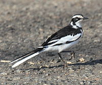 African Pied Wagtail RWD.jpg