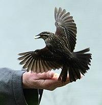 Agelaius phoeniceus f Humber Bay hand-feeding.jpg