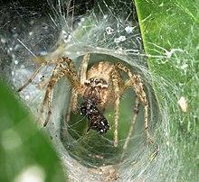 Araneae Wikipedia