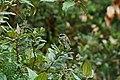 Agile Tit-Tyrant (Uromyias agilis) 2015-06-11 (3) (40327591021).jpg