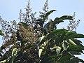 Aglaia spectabilis flowering2399.jpg