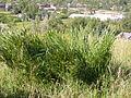 Agropyron cristatum (3821401563).jpg