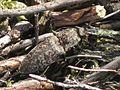 Agrypnus murina (Elateridae sp.), Mookerheide, the Netherlands - 2.jpg
