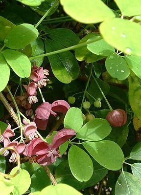 plante grimpante a fleur
