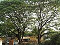 Albizia saman (Raintree) (11).jpg