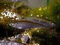 Alburnus alburnus female.jpg