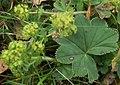 Alchemilla acutiloba leaf (11).jpg