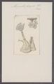 Alcyonella fungosa - - Print - Iconographia Zoologica - Special Collections University of Amsterdam - UBAINV0274 093 18 0009.tif
