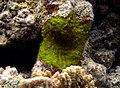 Algue corallinale à déterminer - 2.jpg