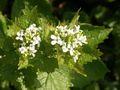 Alliaria petiolata 230405.jpg