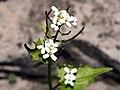 Alliaria petiolata SCA-4729.jpg